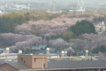 さくら咲く情景.JPG