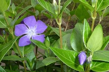 むらさきの花.JPG