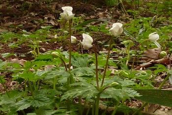 山路に咲いた白い花.JPG